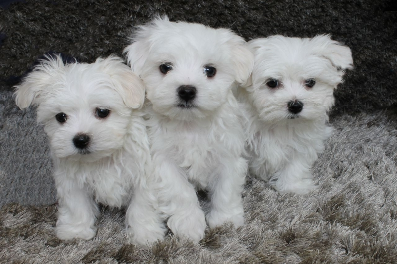 Hawaii Charming Maltese Puppies For